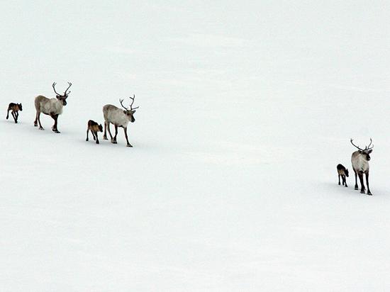 В Ловозерском районе охота на дикого северного оленя теперь запрещена